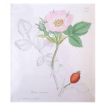 Wild Rose, 1813, by James Sowerby