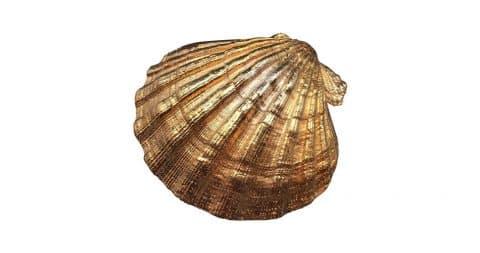 Gold-plated pecten shell, 21st century