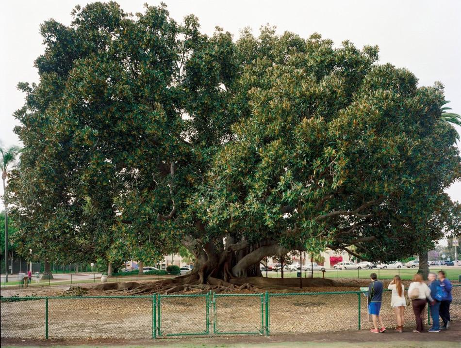 "San Diego 1915 World's Fair, ""Panama-California Exposition,"" Moreton Bay Fig Tree, 2013"