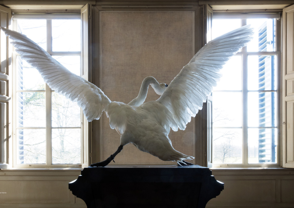 taxidermied swan