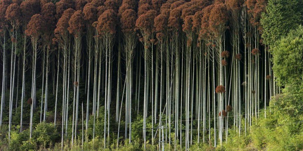 Toshio Shibata Saga City, Saga Prefecture Treescapes Laurence Miller Gallery New York