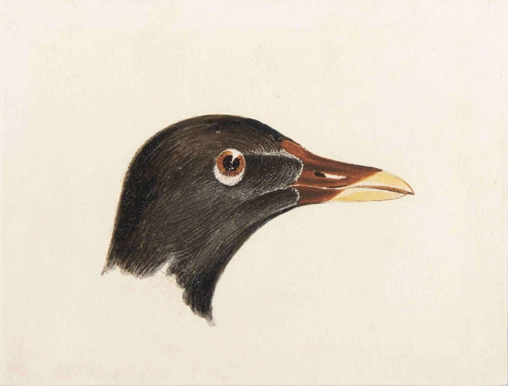 Study of the Head of a Moorhen, a watercolor painted by J.M.W. Turner
