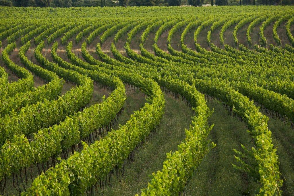 Grape vines in a Fernando Caruncho–designed vineyard in Puglia, Italy
