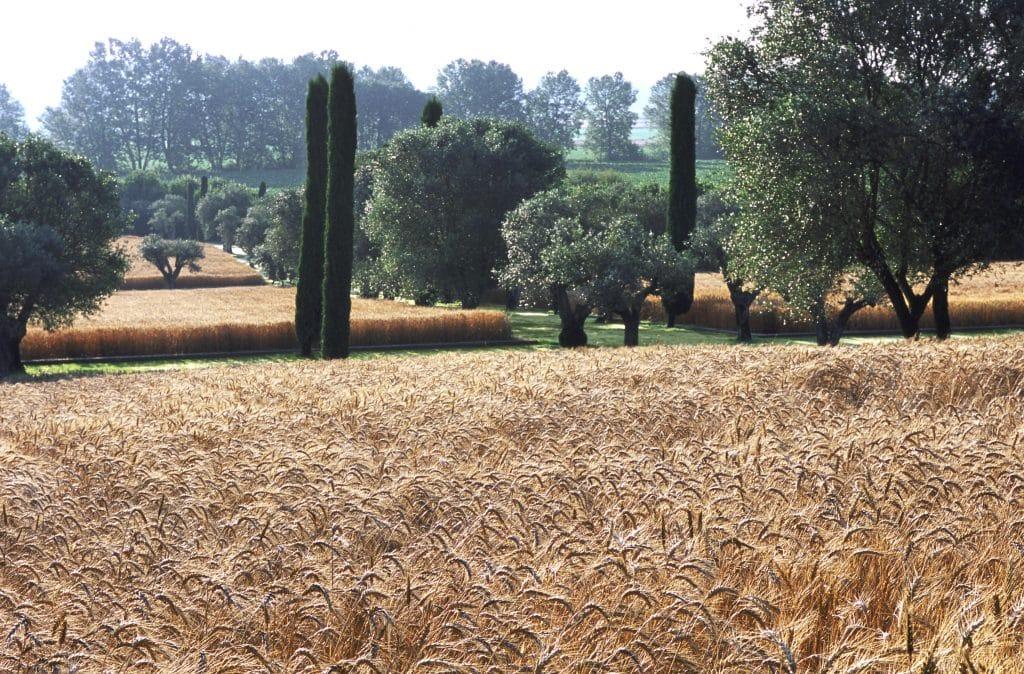 A wheat field in the Fernando Caruncho–designed garden at Mas de les Voltes, in Empordá, Spain
