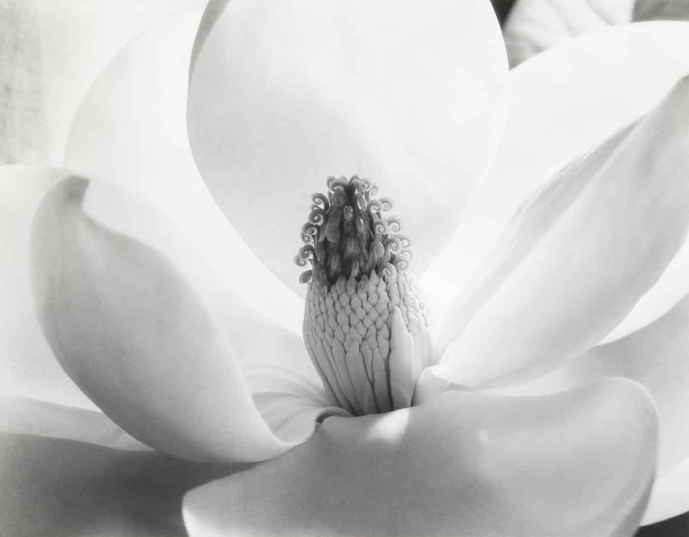 Magnolia Blossom, 1975, by Imogen Cunningham